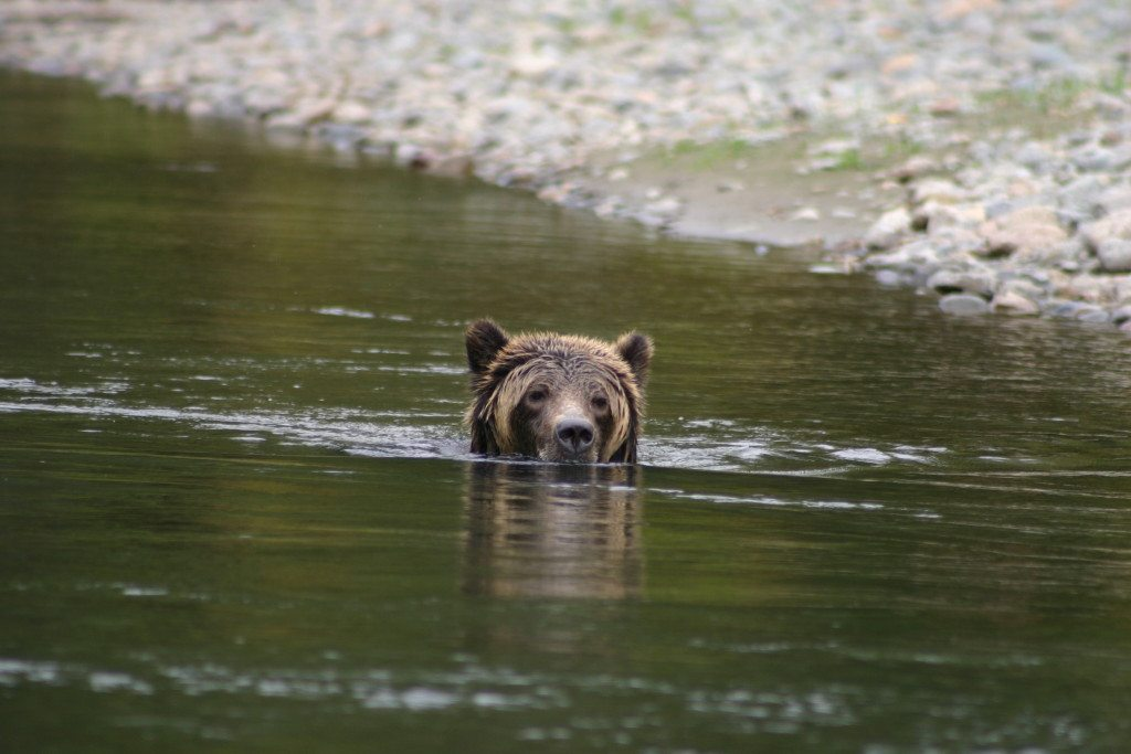 Grizzly Bear Swimming for a feed , Bella Coola BC