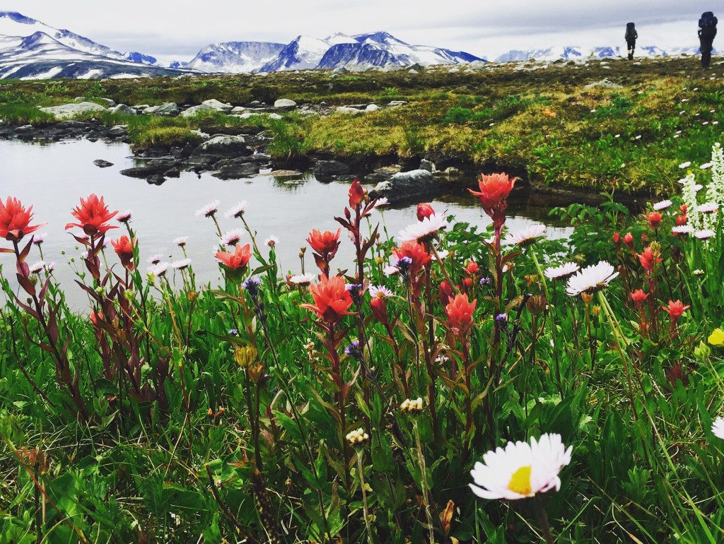 Alpine Flowers Coast Mountains BC