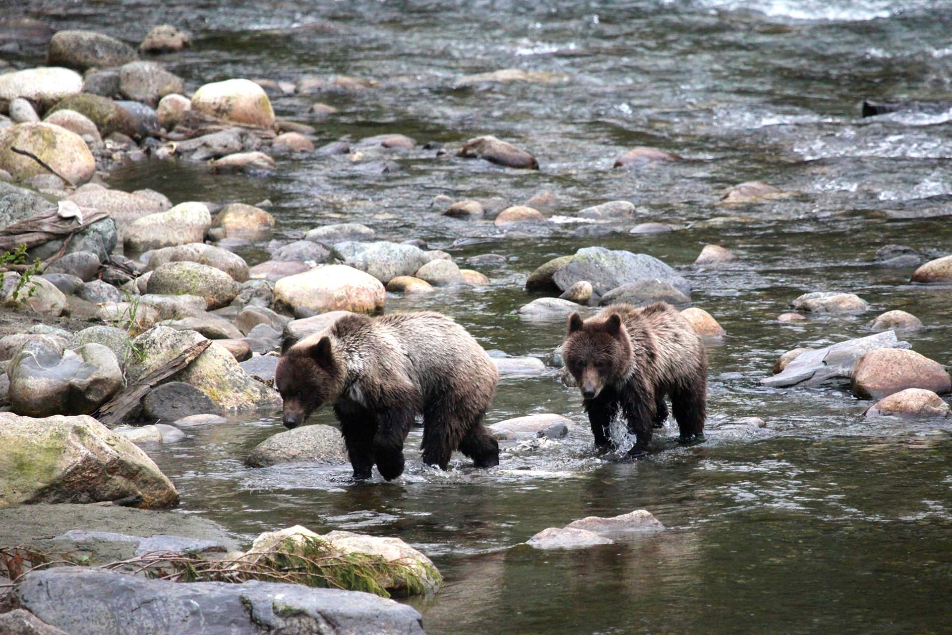 Bear-Bella-coola-