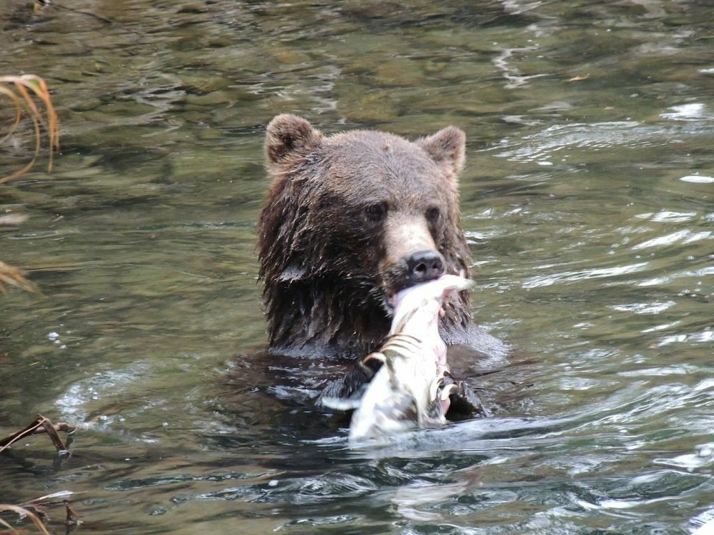 Grizzly Eating Salmon | Bella Coola BC