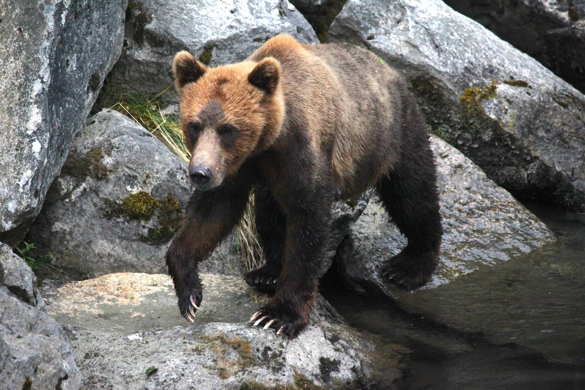 Bear-2-bella-coola-