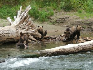 Grizzly Bear Viewing BC