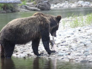 Grizzly Bears Canada