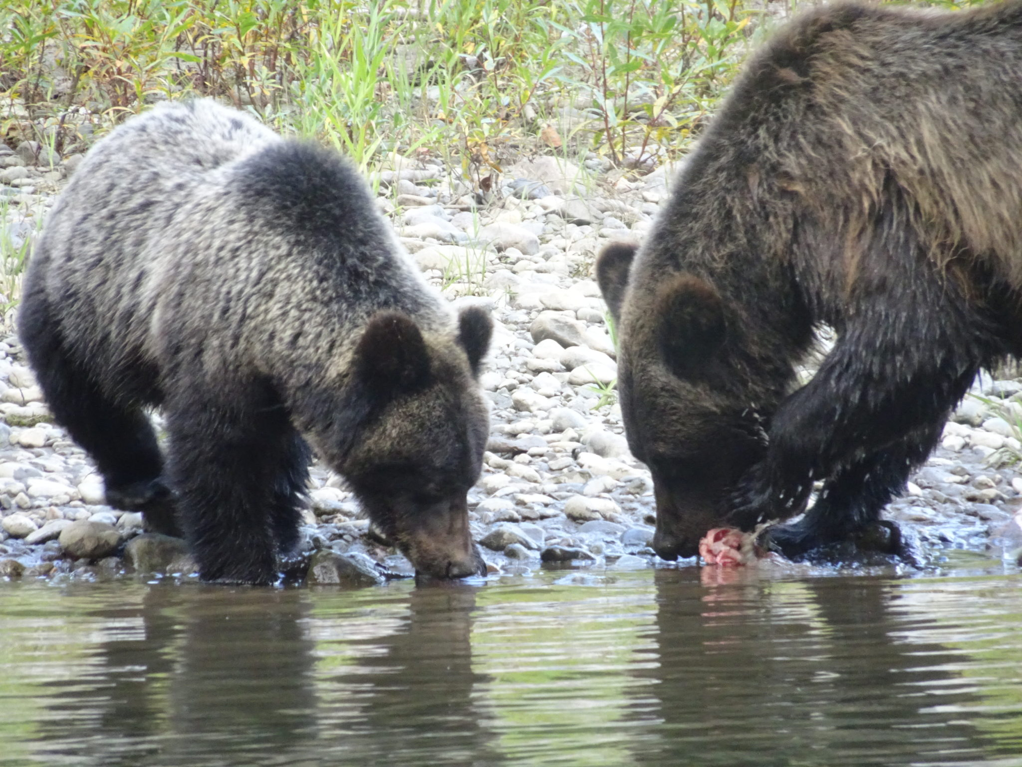 grizzly bear viewing
